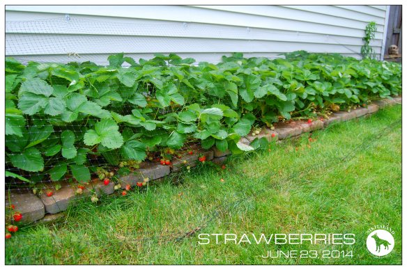 STRAWBERRIES 6-23-14