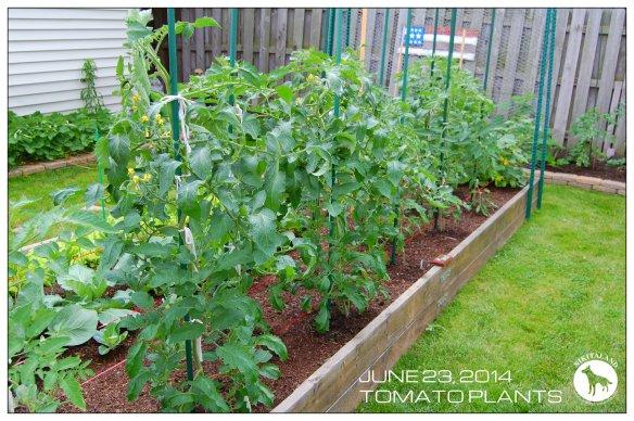 TOMATO PLANTS 6-23-14
