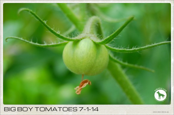BIG BOY TOMATOES 7-1-14