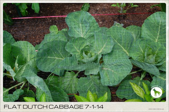 FLAT DUTCH CABBAGE 7-1-14