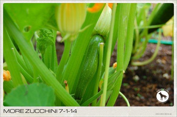 MORE ZUCCHINI 7-1-14