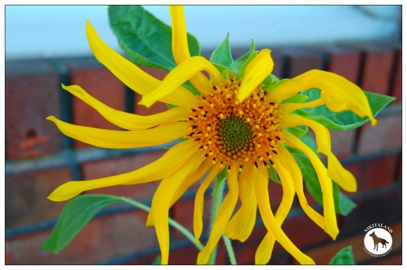 SUNFLOWER 7-24-14