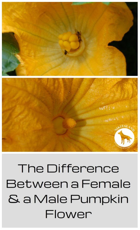 THE DIFFERENCE BETWEEN A FEMALE AND MALE PUMPKIN FLOWER