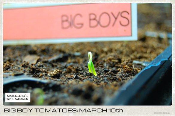 BIG BOY TOMATOES 3-10-15
