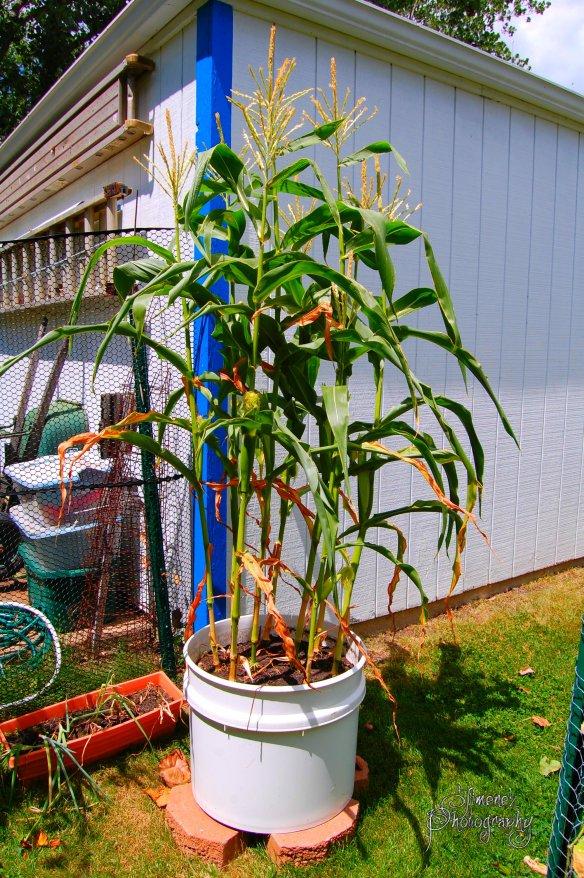 Container Corn