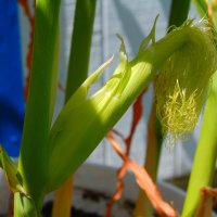 Growing Container Corn